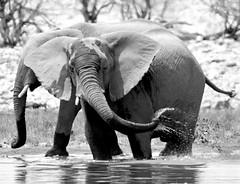 'Sun screen' (pstone646) Tags: elephant nature animal mud blackandwhite monochrome wildlife pachiderm mammal africa namibia reflections waterhole