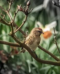 young redpoll (1 of 1)