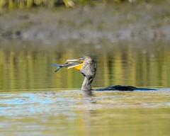 D71_6559 (Capt A.J.) Tags: cormorant channel cat fish eating