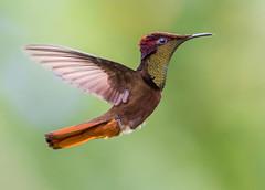 The Regal Dancer. Ruby Topaz Hummingbird, -Chrysolampis mosquitus- Asa Wright Nature Center, Arima Valley, Trinidad. El bailarin real. Tucusito Real. (pedro lastra) Tags: winner alt