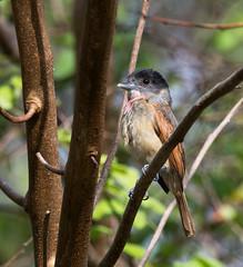 Rose-throated Becard (Pachyramphus aglaiae)_DSC1846-Edit (Dave Krueper) Tags: mexico birding birds landbird becard passeriformes