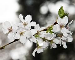 Cherry Blossom Special (DASEye) Tags: davidadamson daseye nikon virginiabeach virginia va awesomeblossoms blossoms flowers flower floral flickrsawesomeblossoms