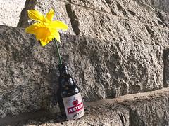 spring: Hamburg edition ... (Soenke HH) Tags: iphonese iphone astra hamburg harbour beer flower osterglocke yellow colors pov fun gelb blume flasche stein wand brick wall hafen landunsgbrücken
