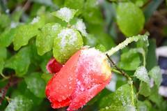 Jatkuu ... (anuwintschalek) Tags: nikond7000 d7k 18140vr austria niederösterreich wienerneustadt kodu home kevad april frühling spring lumi snow schnee lörts schneeregen tulp tulip tulpe