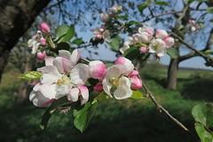 Wetterauer Frühling (nordelch61) Tags: hessen wetterau münzenberg blüten baumblüten obstbäume bäume frühling ast äste fels felsen flechten