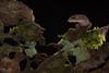 Pug-nosed gecko