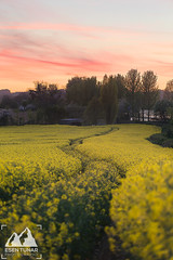 Spring Colours (etunar) Tags: rapeseed flower spring canola rapeseedfield crop sunset dusk twilight colorful colorfulsunset landscape landscapephotography