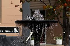 birdbath 1 r (bobtee178) Tags: magpie birds fountain autumn armidale