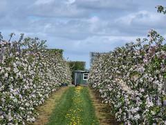 Apple orchard (sander_sloots) Tags: apple orchard zeeland wemeldinge kapelle appelboomgaard keet trees blossom bloesem bomen appletrees appelbomen