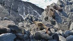 Fur Seals Basking (Idiot4Hire) Tags: kangarooisland sea ocean furseal fur seal australia rocks sunning basking sleeping