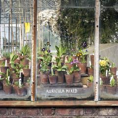 Auricula Mixed (CarolynEaton) Tags: auricula glasshouse greenhouse