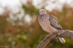 Tórtola AM (AriCaFoix) Tags: zenaidaauriculata aves birds columbiformes fauna tórtola wildlife santiago chile zenaida eareddove urban nature naturaleza