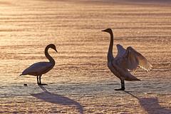 Laulujoutsenpariskunta / Whooper Swan Couple (Tuomo Lindfors) Tags: iisalmi suomi finland dxo filmpack myiisalmi lintu bird laulujoutsen whooperswan jää ice porovesi järvi lake joutsen swan