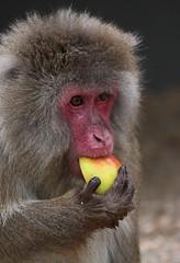 japanese macaque artis JN6A7147 (joankok) Tags: mammal monkey macaque makaak macaca macacafuscata japanesemacaque japansemakaak japan azie asia aap animal artis primaat primate