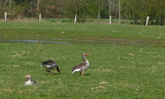 Five greylags (joeke pieters) Tags: 1330799 panasonicdmcfz150 zwillbrockervenn duitsland deutschland germany ganzen gans grauwegans greylag goose geese vogel bird hek fence