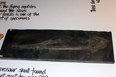 steve etches collection kimmeridge 22march2017 pterosaur skull (chrisandrew314) Tags: steve etches kimmeridge museum fossil pterosaur