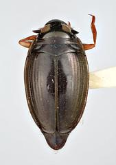 Gyrinus galapagoensis van Dyke, 1953 (Biological Museum, Lund University: Entomology) Tags: coleoptera gyrinidae gyrinus galapagoensis mzlutype05574 taxonomy:binomial=gyrinusgalapagoensis