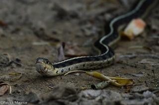 Eastern Garter Snake [Explored]
