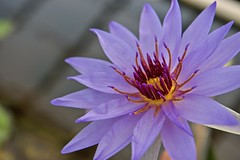 I smile with Waterlilies! (ineedathis, Everyday I get up, it's a great day!) Tags: waterlily lightblue lavender macro pond garden nature lily nymphaea waterplant watergarden tropical beauty exotic flower spring νουφαρο νυμφαια plant nikond750 yellow showy fragrant bokeh