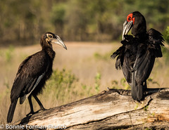 20151030-BFF_9930-2JUVENILE AND ADULT GROUND HORNBILL (Bonnie Forman-Franco) Tags: birds groundhornbillbirds malamala safari southafrica birding awesomenature nature photoladybon birdphotographer birdphotography colorful colorfulbirds