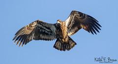 2nd year Bald Eagle (BirdFancier01) Tags: nature bird raptor birdofprey iowa leclaire mississippiriver eagle wildlife