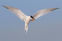 Elegant Landing (bmse) Tags: elegant tern orange county bmse salah baazizi wingsinmotion canon 7d2 400mm f56 l huntington beach