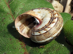 Pretty Snail (treegrow) Tags: spain lifeonearth nature canonpowershotsx40hs raynoxdcr250 mollusca mollusk gastropoda helicidae