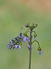 oranjetipje (Anthocharis cardamines) (peter nijland) Tags: twente dinkelland almelonordhornkanaal vlinders buterfly dauw dew tamron 90mm macro