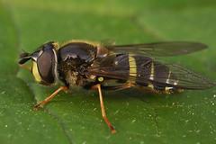Geelbandwimperzweefvlieg - Dasysyrphus tricinctus (henk.wallays) Tags: aaaa arthropoda blomflugor dasysyrphus dasysyrphustricinctus diptera henkwallays hoverfly insect nature syrphidae trebandadskogsblomfluga trebåndetskogblomsterflue wimperzwever wimperzwevers closeup flies fly geelbandwimperzweefvlieg hooverfly hoverflies insecta insecte insekt macro mouche natuur tweevleugeligen vlieg wildlife zweefvlieg zweefvliegen