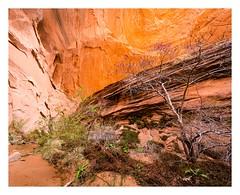 Redbud and undercut (Brendan Swihart) Tags: wilderness backpacking navajonation navajotribalpark a7rii voigtlander ultrawideheliar12mmf56iii canyoneering glencanyon