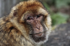 Barbary Macaque (K.Verhulst) Tags: barbarymacaque berberaap apen monkeys monkey apenheul apeldoorn