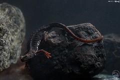 Agnese Meliconi - Salamandrina dagli occhiali