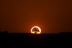 Baumförmige Sonnenfinsternis (Lilongwe2007) Tags: schleswig holstein bäume landschaft natur pflanzen sonnenuntergang sonnenfinsternis lütjensee schönberg deutschland