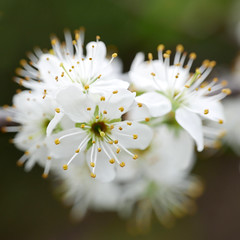 Bloesem.........Explore (Geziena) Tags: bloesem bloeien bloei bloem wit closeup lumix lx100 explore