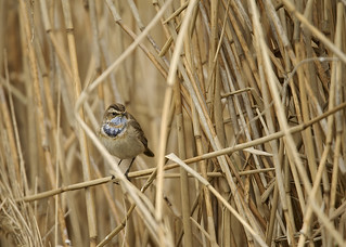 Bluethroat DSC_8915