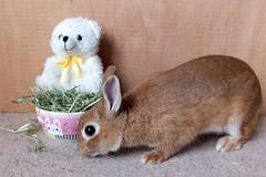 Ichigo san 655 (Ichigo Miyama) Tags: いちごさん。うさぎ。 rabbit bunny netherlanddwarf brown cute pet family ichigo ネザーランドドワーフ ペット いちご うさぎ