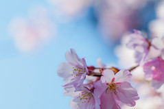 桜2017 甲斐善光寺 kai-zenkoji (tenugui) Tags: cherry yamanashi 山梨県 桜 桜2017 甲府