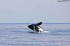 Ballena Franca Austral 3 (pniselba) Tags: ballena ballenafrancaaustral puertopiramides peninsula valdes peninsulavaldes puerto madryn puertomadryn chubut argentina eubalaenaaustralis southernrightwhale whale