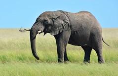 Bull Elephant wondering the Stinkwater plains of north east Etosha. (One more shot Rog) Tags: elephants elaphant trunk tusks tusker bull bullelephant namibia safari grass grasslands etosha stinkwater nature wildlife elephant