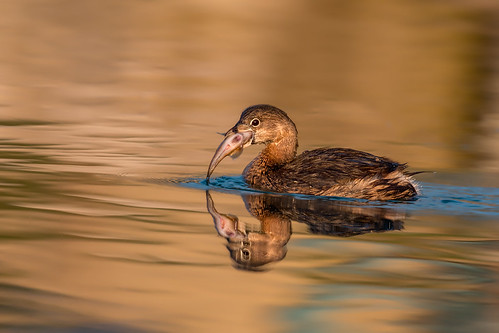 Pied-billed Grebe (Joe Branco) Tags: songbirds grebes outdoors photoshopcc2017 lightroomcc2015 canada ontario nature wildlife joebrancophotography nikond500 nikon branco birds joe piedbilledgrebe green