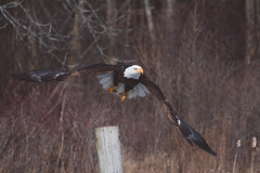 Canadian Raptor Conservancy - March 4, 2017 (Katherine Ridgley) Tags: canadianraptorconservancy bird birds birdofprey birdinflight birdsinflight flight flying baldeagle eagle haliaeetusleucocephalus haliaeetus accipitridae accipitriformes aves animal nature wildlife feather feathers wing wings canada ontario raptorconservancy raptor southernontario plumage ice snow pong frozen