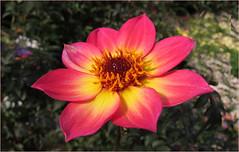 Happy Day (Mary Faith.) Tags: flower macro dahlia red bright single bokeh nature