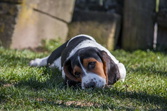 IMG_8284 (BFDfoster_dad) Tags: basset hound puppy