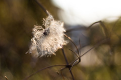 IMG_4907 (Kiwi East) Tags: canoneos760d outdoor nature plant bokeh white garden seeds ef50mmf18stm closeup macro
