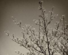 Day 113:  sepia dogwood (Mark.Swanson) Tags: dogwood flowering tree cornus