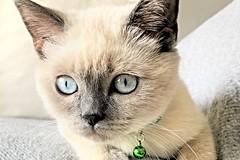 Our Miss Pickle :) (yonca60) Tags: cat kedi pet catlovers lovelycat cutecat portrait catportrait kitty britishshorthair gatto blueeyes greycat blueeyedcat chat britishshorthairbluepoint bluepoint