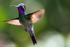 Purple-throated mountain-gem (Manuel ROMARIS) Tags: monteverdecloudforestreserve monteverde costarica purplethroatedmountaingem hummingbird provinciadepuntarenas cr