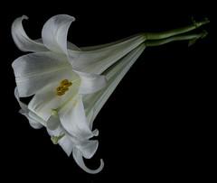 Reflecting On An Easter Lily (Bill Gracey 15 Million Views) Tags: reflection mirror blackbackground homestudio macrolens depthoffield easterlily fleur flower flor liliumlongiflorum offcameraflash yongnuorf603n yongnuo softbox griddedsoftbox
