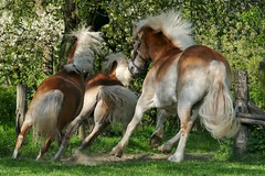 Running horses (yve_all) Tags: pferde horses tiere animals natur nature licht light colours farben blickwinkel view