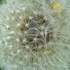 blowball time again (Stiller Beobachter) Tags: dandelion blowball